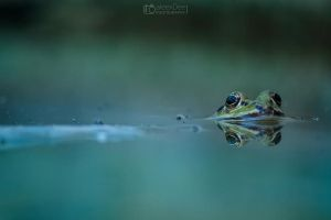 Green frog by aleexdee