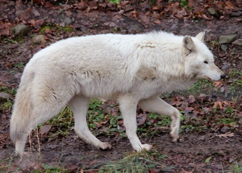 White Wolf Stock 15 by HOTNStock
