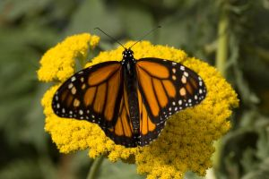 Monarch Butterfly on Yellow by happeningstock