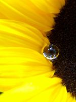 Sunflower tear by Tricia-Danby