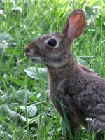 wild rabbit close up by DisneyPrincessNeeNee