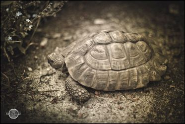 Turtle by RemusSirion