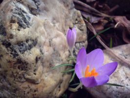 Crocus under a stone by VliegendeFiets