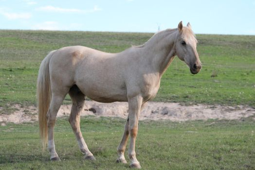 Palomino Stallion 23 by How-You-Remind-Me