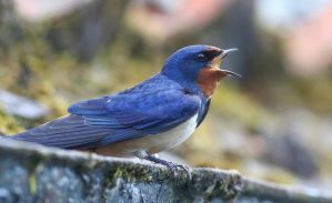 Swallow singing by NurturingNaturesGift