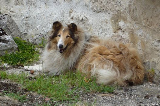 Lassie by nicolapin