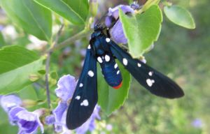 Polka-Dot Wasp Moth by ce3Design