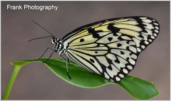 Butterfly BW by CaryAndFrankArts