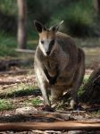 Wallaby by HempHat