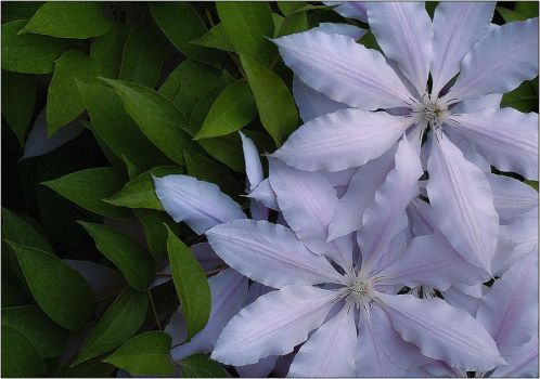 Clematis by aquapell