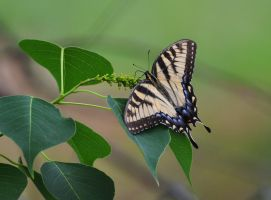 Tiger Swallowtail Butterfly by Tailgun2009