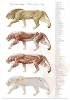 Lion anatomy, final version by DirkTraufelder