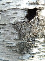 Birch Texture 2 by Stock7000