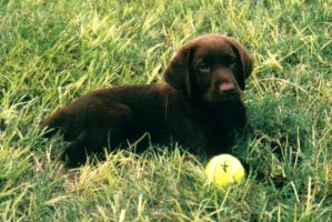 Chocolate Lab. by XdormentedXfeelingsX
