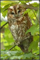 Roosting Tawny Owl by nitsch