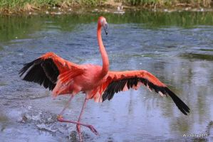 Dance Of The Flamingo by lenslady