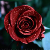 kiss from a rose by illusionality