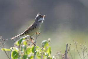 Common Whitethroat by phalalcrocorax