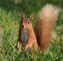 Red Squirrel by NurturingNaturesGift
