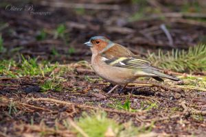 Male chaffinch on the ground by OliverBPhotography