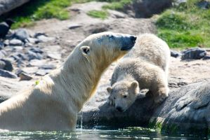 Polar Bears - To swim or not to swim? by Frangster