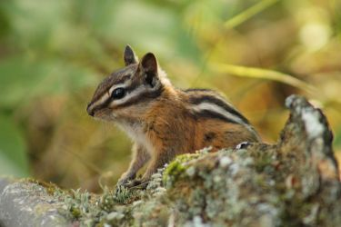 Chipmunk 1 by I-Heart-Photos