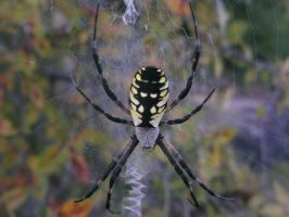 Yellow back spider #3 by rikumario