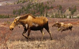 Cow and calf Denali 2010 by JWFisher