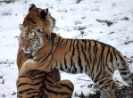 Tiger Love by cindy1701d