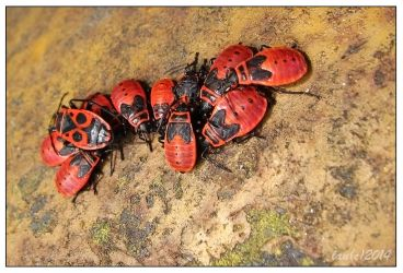 Red bugs gathering by vendoritza