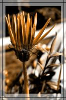 Flower in sepia V by tiefel