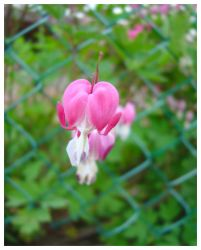 Hearts by alpenglow