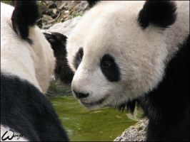 Giant panda: oh mum by woxys