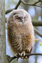 Fledgling Tawny Owl by Sarah-on-Deviantart