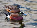 Wigeons Swimming By Two by wolfwings1