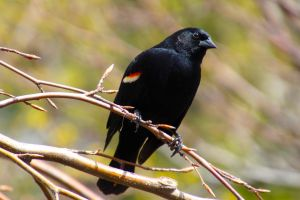 red-winged blackbird (Agelaius phoeniceus) by minamiko