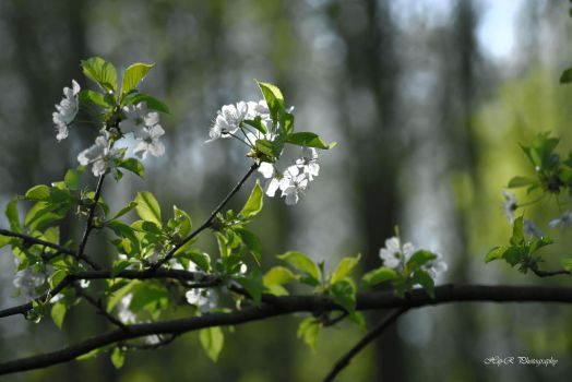 Spring white flowers by 1Hip-R