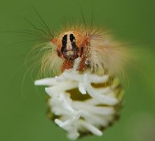 Caterpillar by dralik