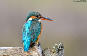 King Fisher day - 2 by assincr0n0