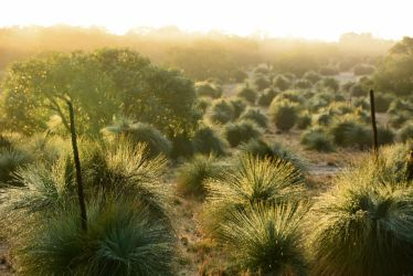 Grass Trees at Dawn by MayEbony