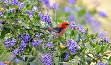 Scarlet Honey Eater by FNQ