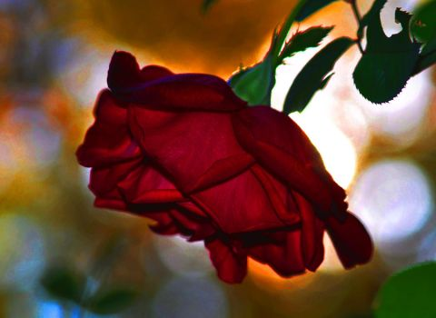 The Rose 11-12-10 by Tailgun2009