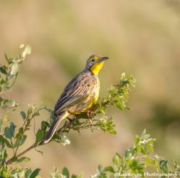 Yellow-throated Longclaw by Okavanga