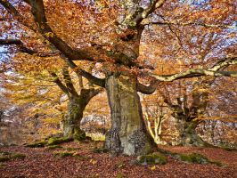 Ancient beech trees in fall, 'Hutewald Halloh by zeitspuren