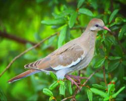 White Winged Dove for Nana by clippercarrillo