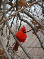 Male Cardinal Eye Contact by Mogrianne