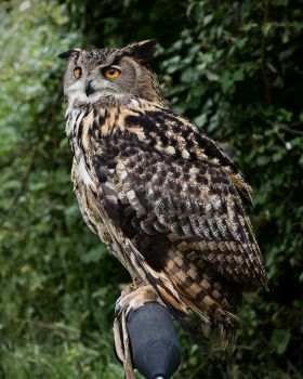 Eurasian Eagle Owl, perched 2 by FurLined