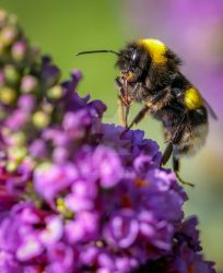 bumble cleaning its gear... by clochartist-photo
