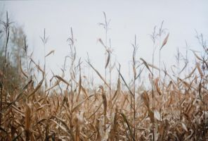 crispy corn field 2 by kitleen