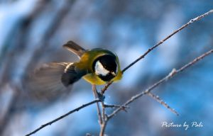 Great Tit in flight by PictureByPali